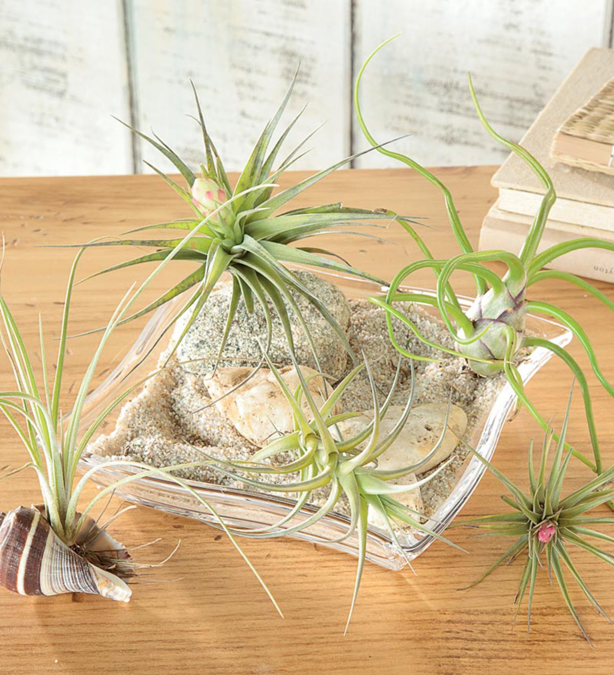 Assorted Tillandsia