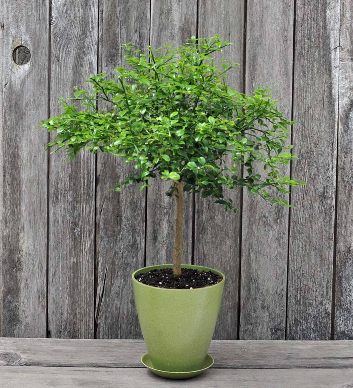 Potted Australian Finger Lime Tree