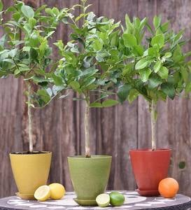 Citrus Tree in Colorful Rice Hull Pot