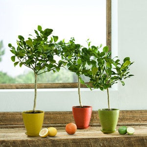 Citrus Tree in Terra Cotta Pot