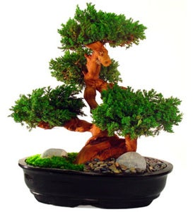 Large Evergreen Bonsai