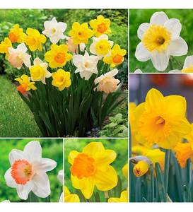 Big Blooms Daffodil Bulb Collection, 25 bulbs each of 4 varieties