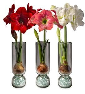 3-Months of Amaryllis with Glass Vase