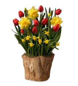 Narcissus and Tulip Bulbs in Root Bowl