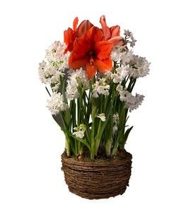 Amaryllis and Narcissus Bulb Garden - Ships September 1-30, 2019