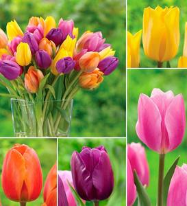 Bright Tulip Bulb Collection, 25 bulbs each of 4 varieties