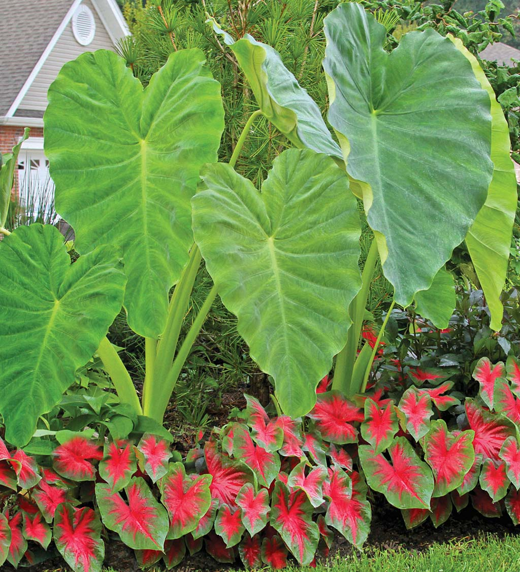 12-Bulb Elephant Ear and Caladium Collection