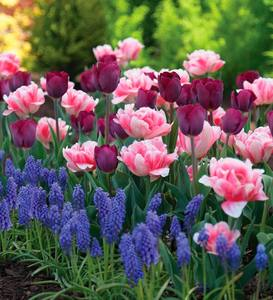 Tulip and Muscari Bulb Collection, 100 bulbs, 3 varieties