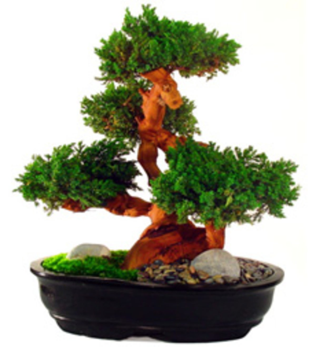 Grand Size Evergreen Bonsai Wind And Weather