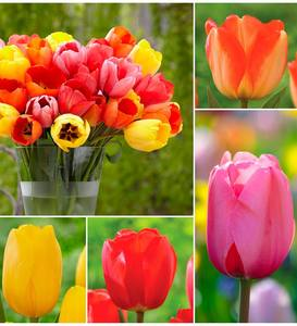Darwin Hybrid Tulip BUlb Collection, 25 bulbs each of 4 varieties