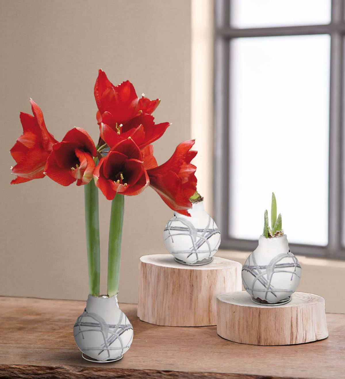 Blooming Amaryllis in Wax