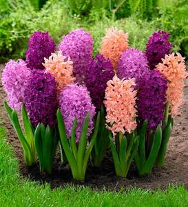 Fragrant Hyacinth Bulb Collection, 40 mixed bulbs
