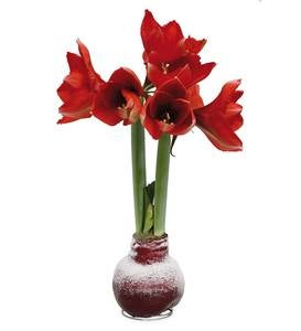 Blooming Amaryllis in Solid Color Wax with Faux Snow