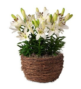 White Tiny Nanny Lilies Bulb Garden - Ships January-June 2019