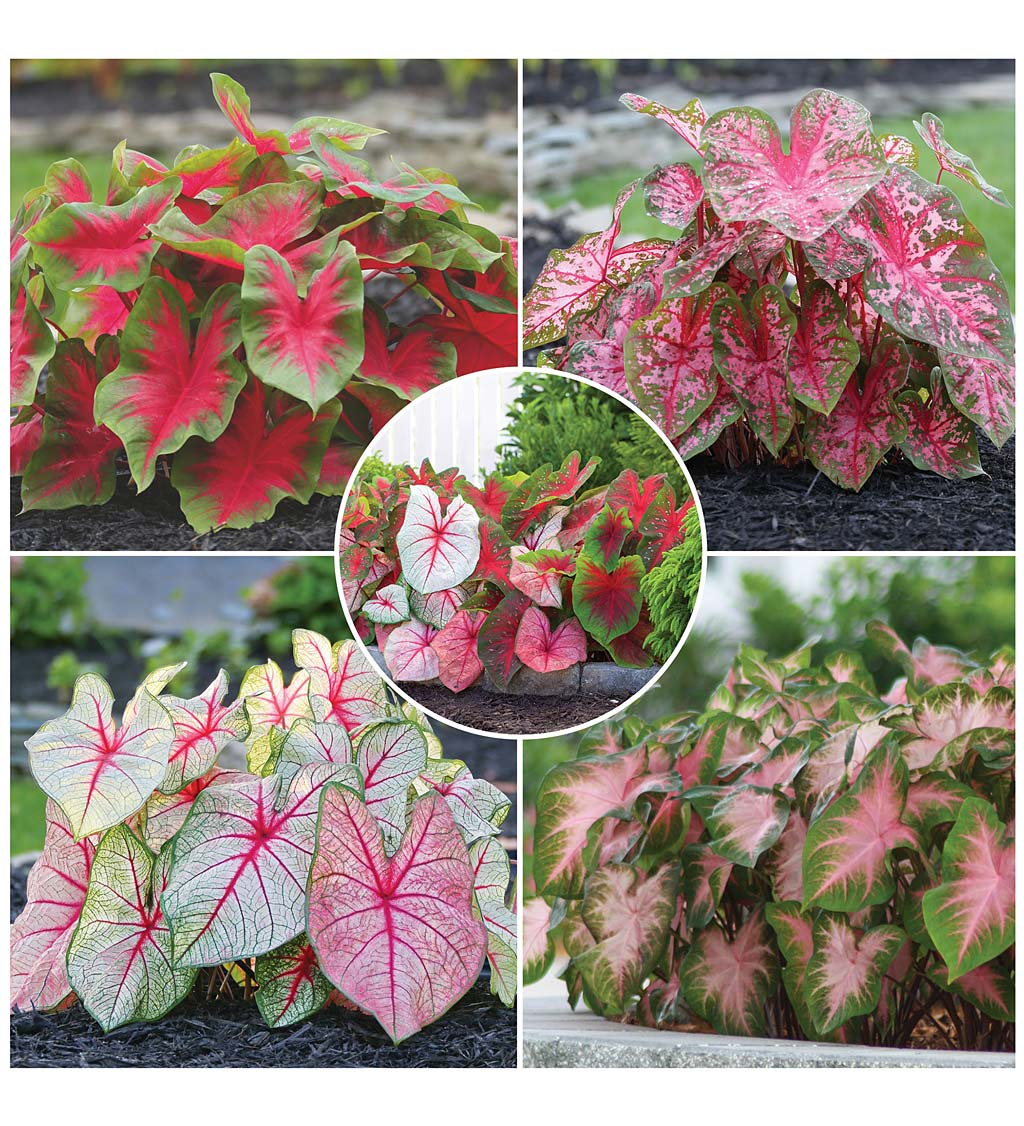 20-Bulb Caladium Collection