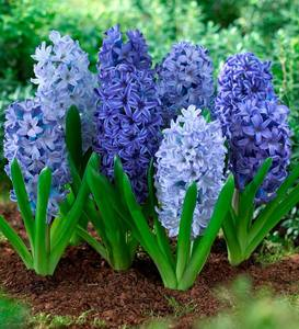 Shades of Blue Hyacinth Bulb Collection, 40 mixed bulbs