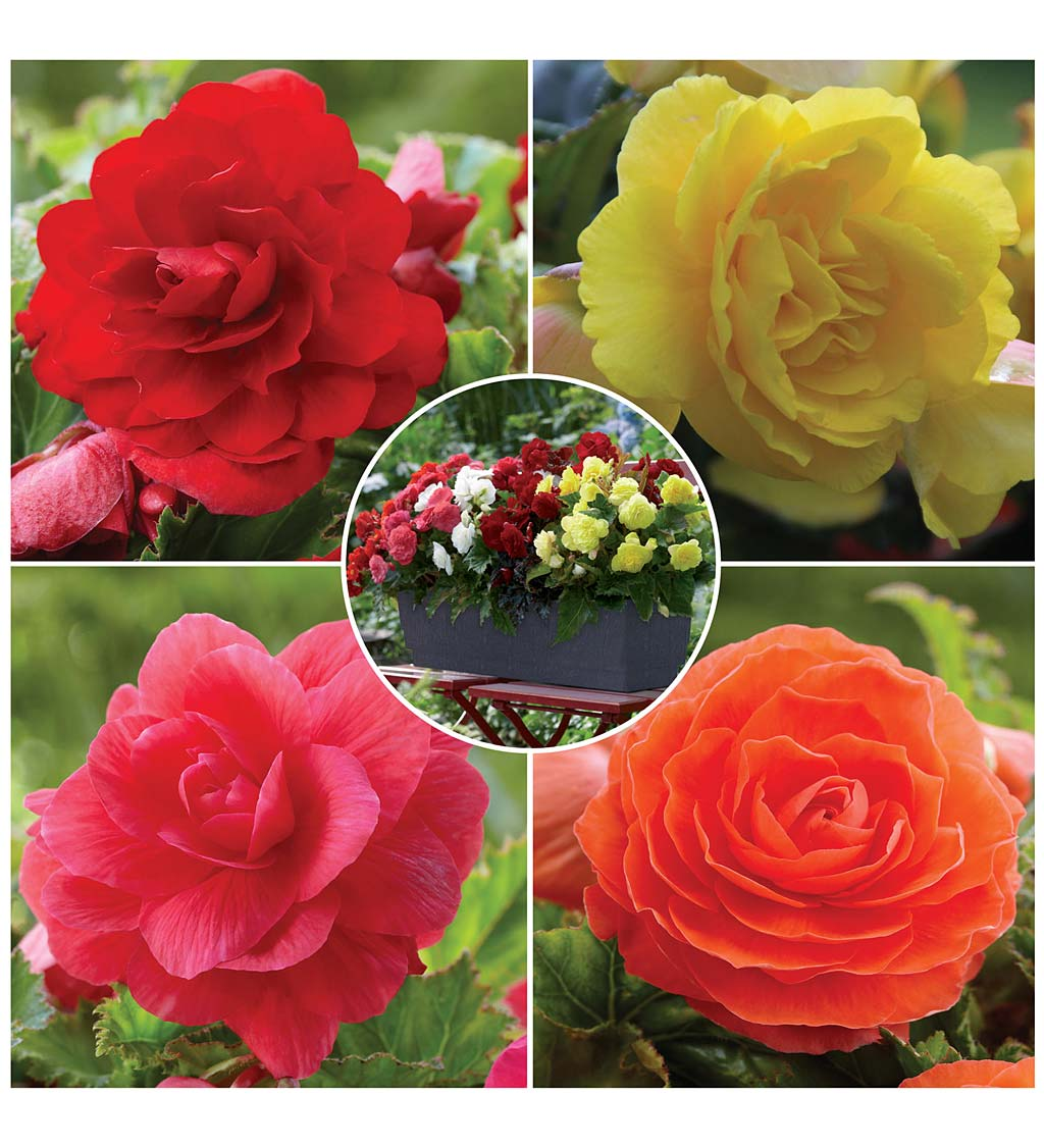 12-Bulb Begonia Collection with Red, Orange, Pink and Yellow Flowers